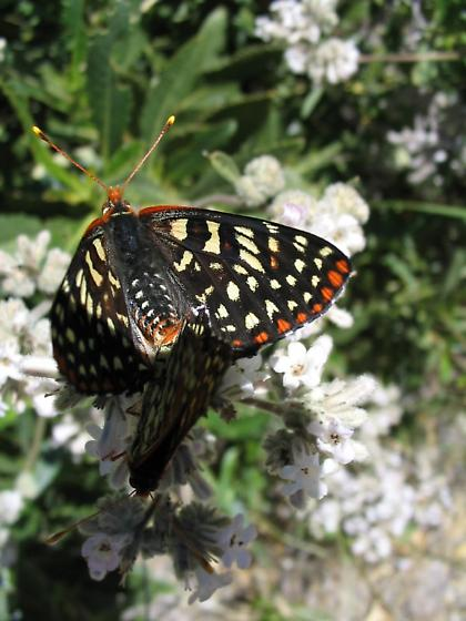 Variable Checkerspot butterflies mating - Euphydryas chalcedona - male - female