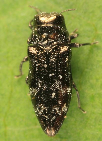 Buprestid - Taphrocerus nicolayi