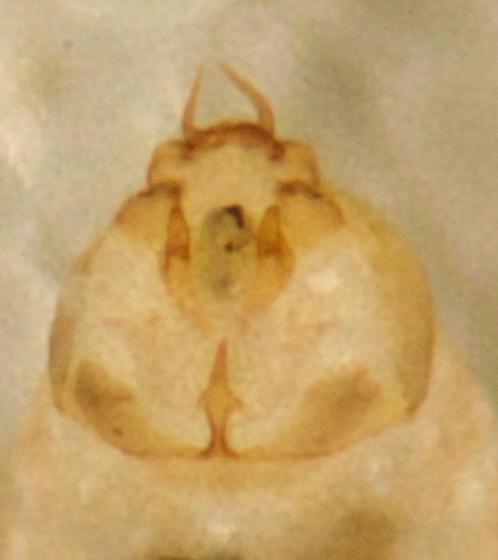 Small pale barklouse - Lachesilla?
