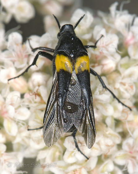 Female Macrosiagon 2 - Macrosiagon flavipennis - female