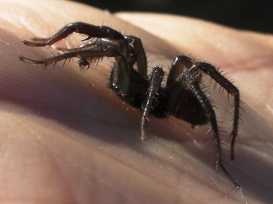 A. pacificus I bet - Antrodiaetus pugnax - male