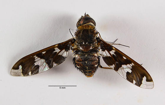 Another Bombyliid... - Exoprosopa dorcadion