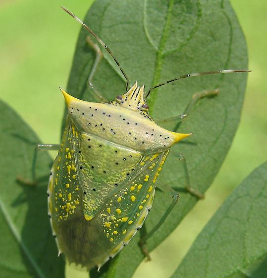 Green Stinkbug - Arvelius albopunctatus