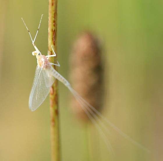White bug - Anthopotamus verticis - male