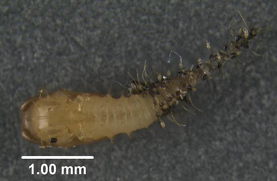 Funky Larva/Pupa - Forcipomyia