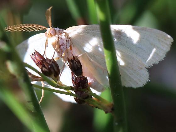 Geometrid Moth - Geometridae - male
