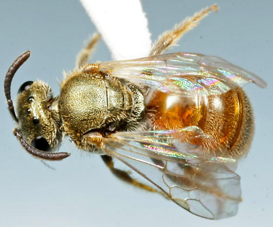 bee from Malaise trap - Lasioglossum