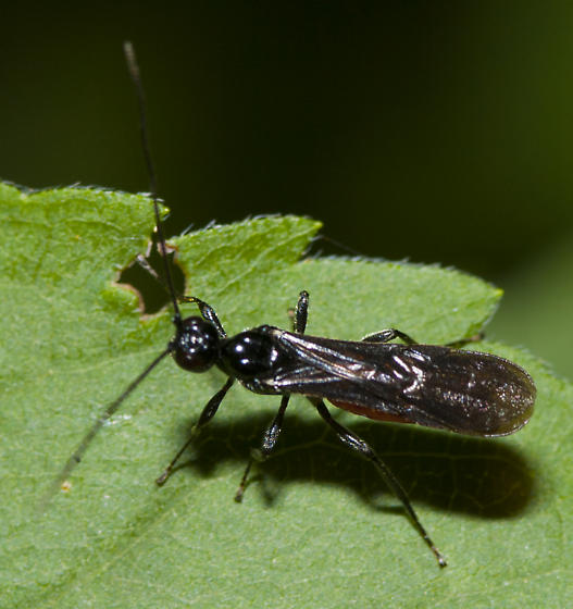 Braconid ? - male