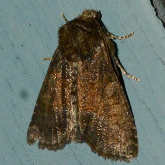 Tawny Marbled Minor - Oligia latruncula - female