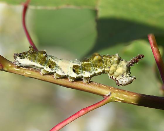 caterpillar on poplar - Limenitis arthemis