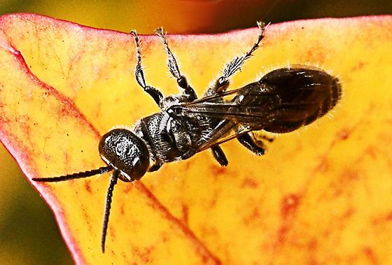 Tiphia Wasp