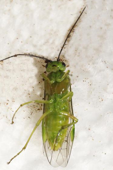 Nematus species?