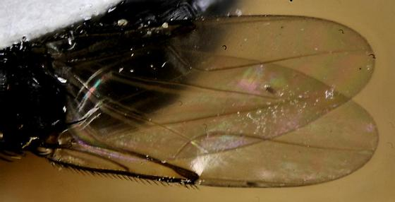 big-muscled long-legged fly - Borophaga
