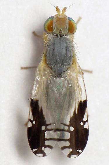 Unid. Tephritid - Trupanea bisetosa - female