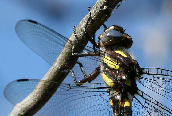 Pacific Spiketail Dragonfly - Cordulegaster dorsalis - Cordulegaster dorsalis - female