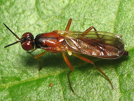Rust fly? - Loxocera cylindrica - female