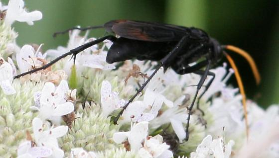 Spider Wasp - Entypus fulvicornis - Entypus