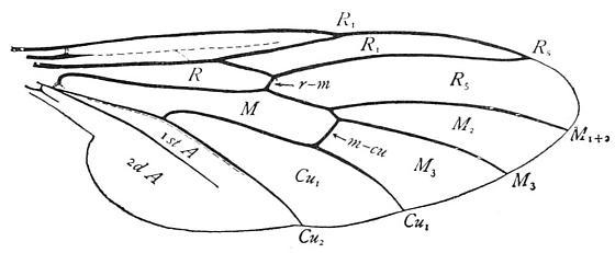 Bibionidae--wing venation - Bibio