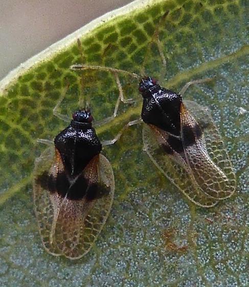 Avocado Lace Bug - Pseudacysta perseae