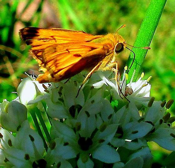 Moth? - Hylephila phyleus
