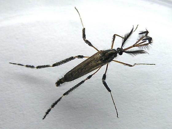Mosquito - Culicidae - Psorophora ciliata - male