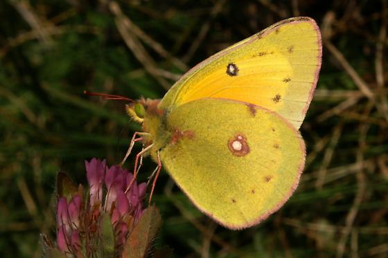 Orange Sulphur For Illinois In November - Colias eurytheme - male