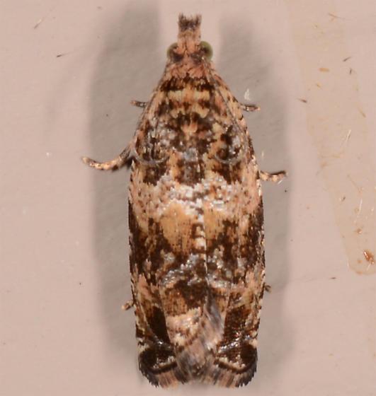 Olethreutes olivaceana - Celypha cespitana