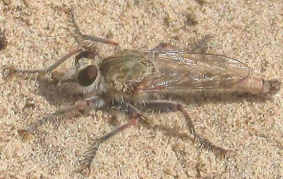 Asilidae - Proctacanthella - male