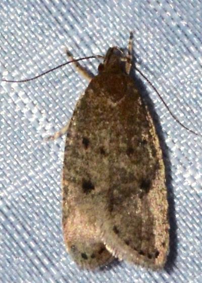 Gelechioidea Moth - Psilocorsis - female