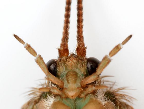 Large Caddisfly (5-segmented palpi) - Ptilostomis - female