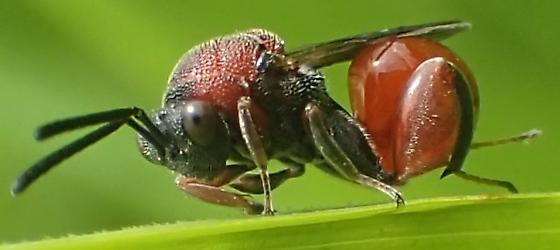 Red parasitoid wasp - Chalcis - female