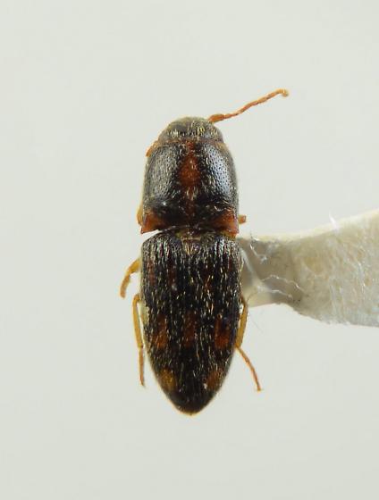 Conoderus? - Conoderus bellus