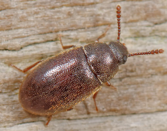 cryptophagid beetle? - Pisenus humeralis