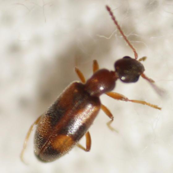 Ant-like beetle - Anthicus cervinus