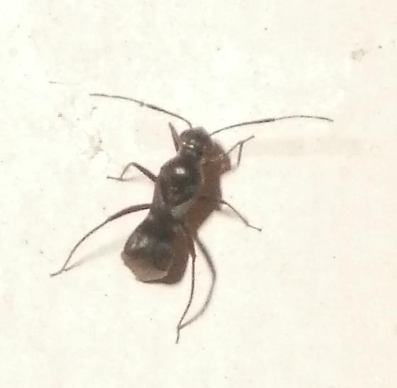 ant mimic?  - Barberiella formicoides