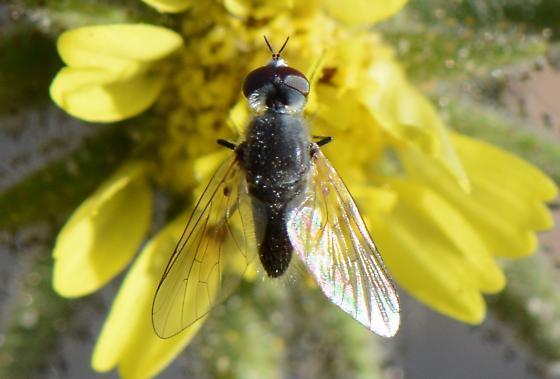 fly #2 on tarweed - Apolysis