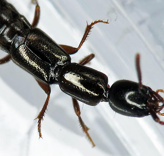 Rove Beetle - Xantholinus longiventris