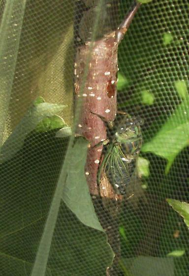 tibicen linnei - Neotibicen - male