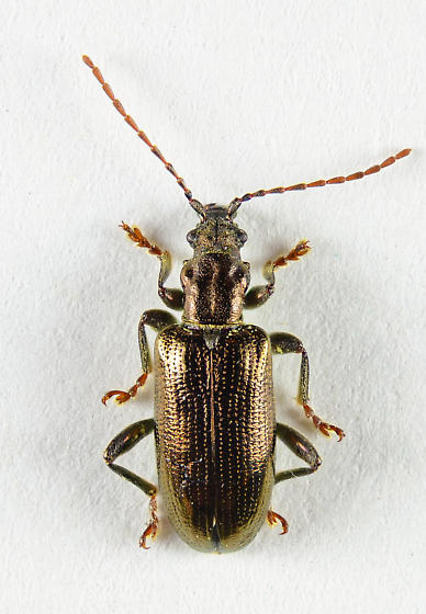 Donaciinae - Aquatic Leaf Beetle? - Plateumaris