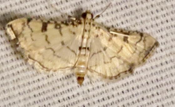 Hileithia differentialis