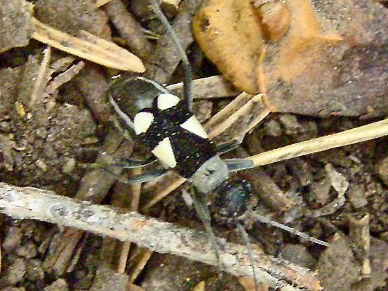 Black and White Bordered Plant Bug - Arhaphe cicindeloides