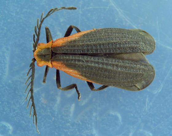 anteriorly red-margined netwing beetle - Caenia amplicornis