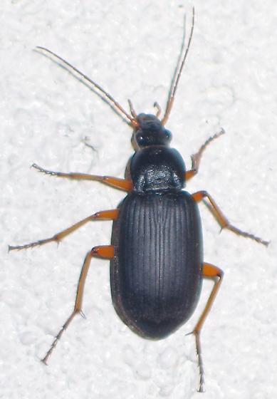 orange-legged bluish beetle - Chlaenius