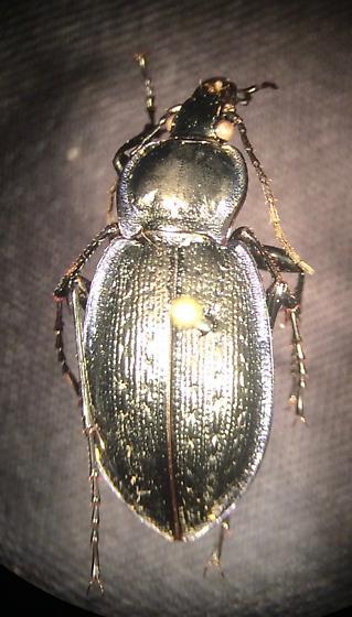 Carabus serratus
