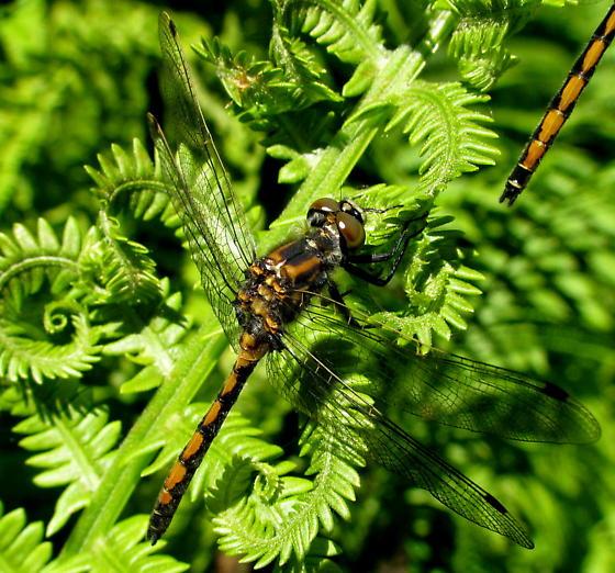 Leucorrhia borealis - Leucorrhinia borealis