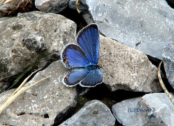 Eastern Tailed-Blue, Everes comyntas - Cupido comyntas - male