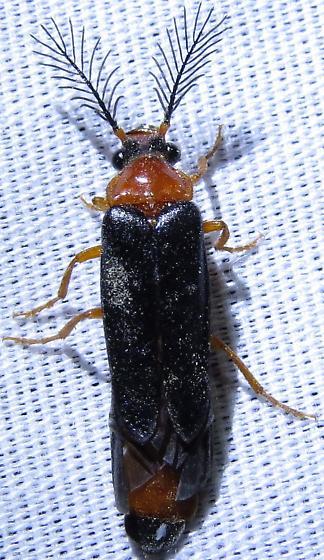 Zarhipis sp. - Zarhipis integripennis