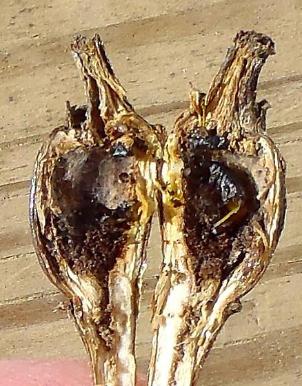 stem swelling on goldenrod