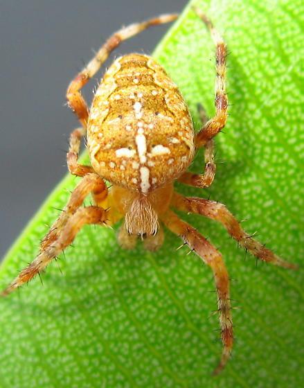 Araneus diadematus? - Araneus diadematus - male