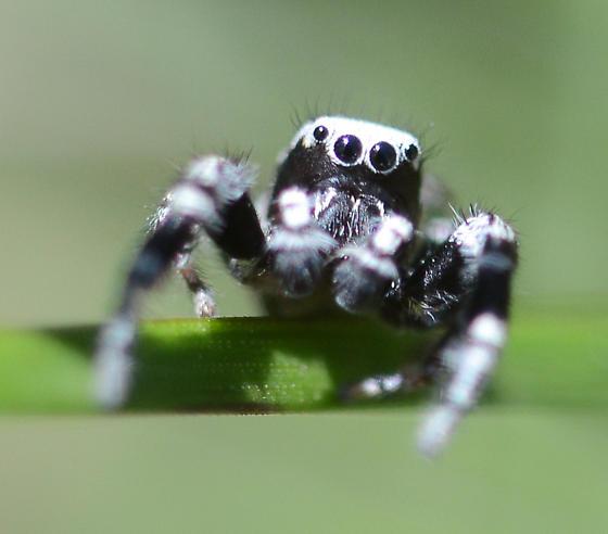 Black and White Jumper - Dendryphantes nigromaculatus